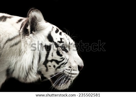 Profile of Bengal white tiger on a black background. - stock photo