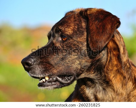 Profile of canary dog looking attentively - stock photo