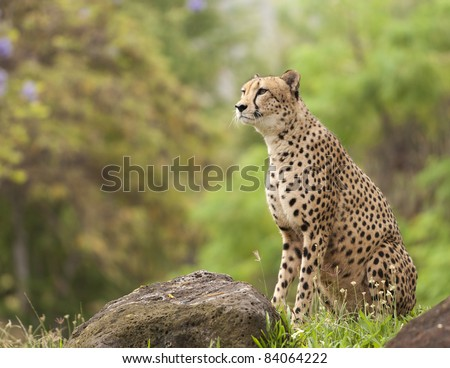 Profile of Cheetah sitting by rocks staring watchfully - stock photo