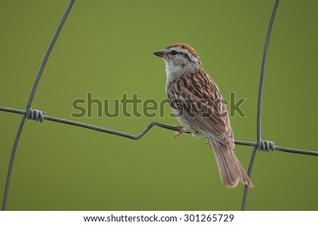 Profile of chipping sparrow (spizella passerine) perched on a wire fence, isolated against green background