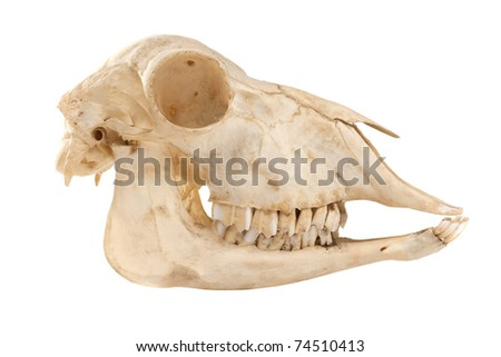Profile of cutout skull of domestic horse on a white background (Equus caballus) - stock photo