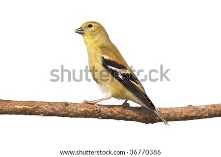 profile of female american goldfinch perched on a branch. white background - stock photo