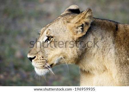 Profile of Female Lion / Female Lion Looking into the Distance, South Luangwa, Zambia, Africa - stock photo