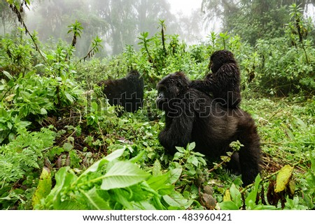 Profile of female mountain gorilla with baby over the back