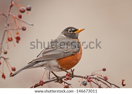 Profile of full-breasted American robin, turdus migratorius, perched on branch of ash tree with red berries - stock photo