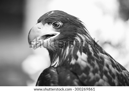 Profile of grand wild beautiful animal bird class of eagle with feathers and curved beak sitting and watching outdoor on blur background black and white, horizontal picture - stock photo