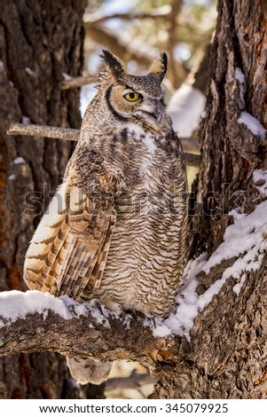 Profile of great horned owl sitting in snow covered pine tree on cold winter morning