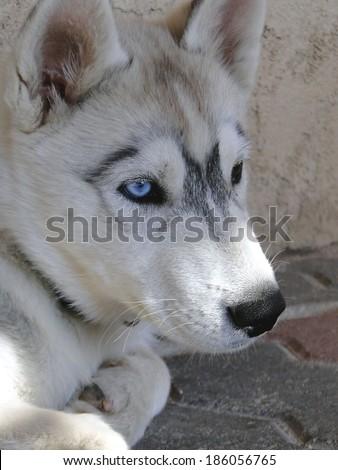 Profile of Husky Puppy - stock photo