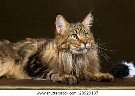 Profile of Maine Coon brown tabby on bronze green background - stock photo