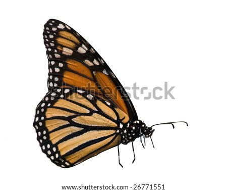 profile of monarch butterfly on white background