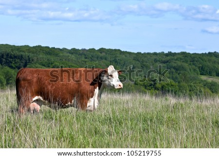 profile of red hereford cow, grazing on a hillside - stock photo