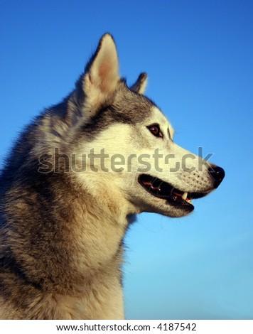 profile of siberian husky - stock photo