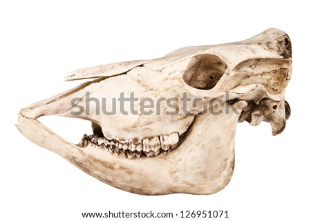 Profile of skull of domestic horse on a white background (Equus caballus) - stock photo