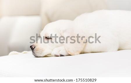 Profile of sleeping puppy on the white leather sofa - stock photo