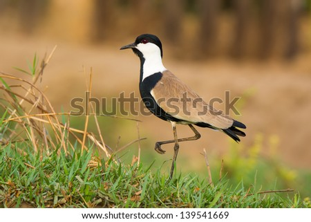 Profile of Spur Winged Plover standing still on one leg - stock photo