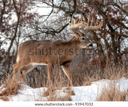 Profile of trophy whitetail deer buck walking through the snow.