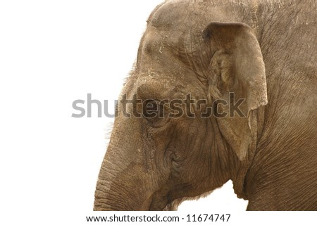 Profile picture of an elephant on white background. - stock photo