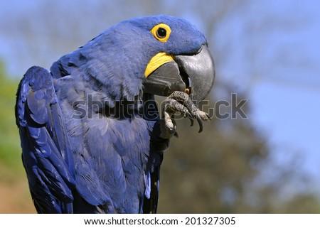 Profile portrait blue hyacinth macaw (Anodorhynchus hyacinthinus) - stock photo