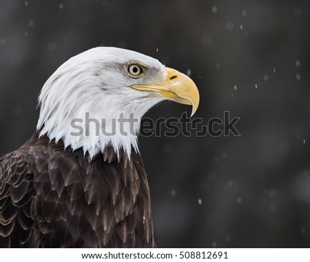 Profile Portrait of a Bald Eagle in Falling Snow