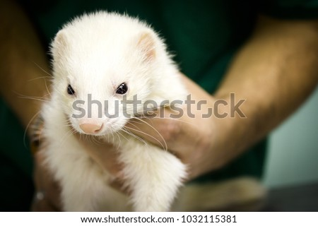 Profile portrait of a ferret. Vet gets into the body.
