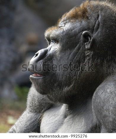 Profile portrait of a gorilla, taken at Loro Parque, Tenerife - stock photo