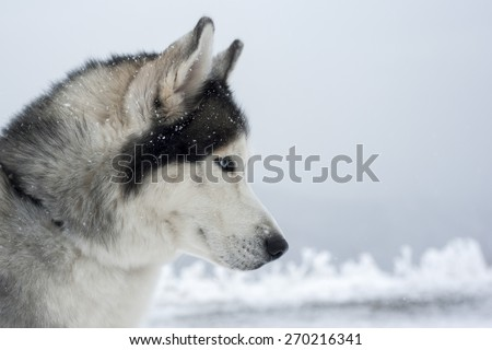Profile portrait of a husky dog with blue eyes . - stock photo