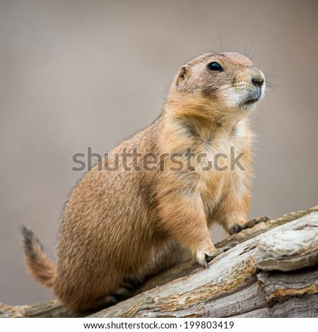 Profile Portrait of a Prairie Dog
