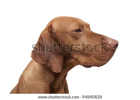 profile portrait of a pure breed dog on white