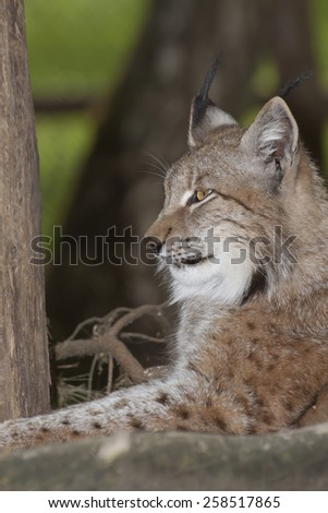 profile portrait of a watchful resting lynx in the forest, Europe - stock photo