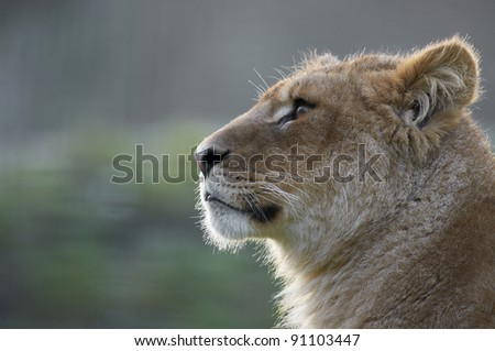 Profile portrait of a young lion (leo panthera)