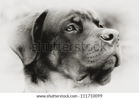 PROFILE PORTRAIT OF AN ADULT MALE PUREBRED ROTTWEILER, MONOCHROME, NARROW DOF, FOCUS ON THE EYE   - stock photo