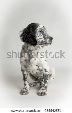 Profile Portrait of english puppy setter, sitting positio, white background - stock photo