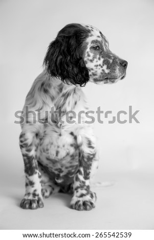 Profile Portrait of english puppy setter, sitting position. - stock photo