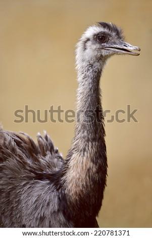 Profile portrait of Greater Rhea (Rhea americana) - stock photo