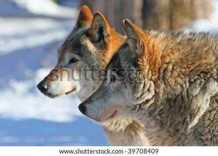 Profile portrait of Grey wolves (canis lupus) - stock photo