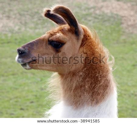 Profile portrait shot of a llama - stock photo
