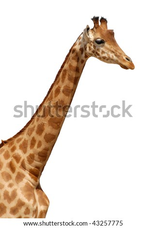 Profile portrait with the neck of giraffe (Camelopardalis) isolated on white background