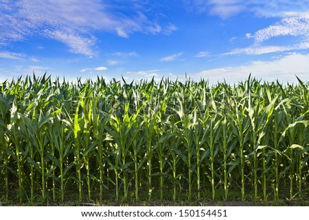 profile shot of corn crop in south dakota - stock photo