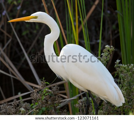 Profile side view of great white egret with yellow bill in reeds of Florida everglades - stock photo