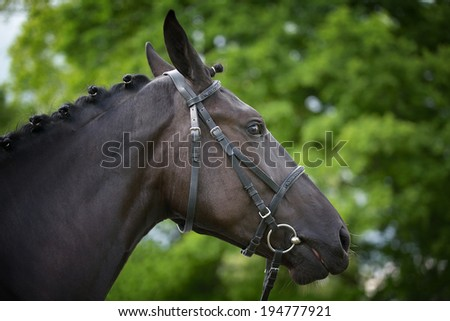 Profile thoroughbred horse