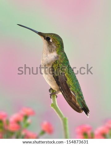 Profile view of a beautiful female Ruby-throated Hummingbird (Archilochus colubris).