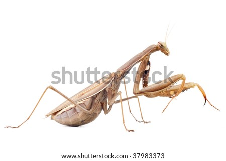 profile view of female praying mantis isolated on white