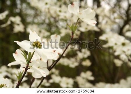 Profusion of blooms on a dogwood tree - stock photo