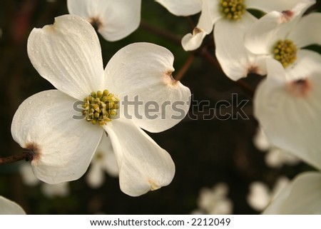 Profusion of dogwood blooms - stock photo