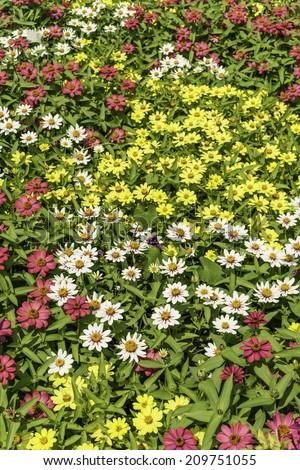 Profusion of zinnias (binomial name: Zinnia marylandica) in summer garden, northern Illinois - stock photo