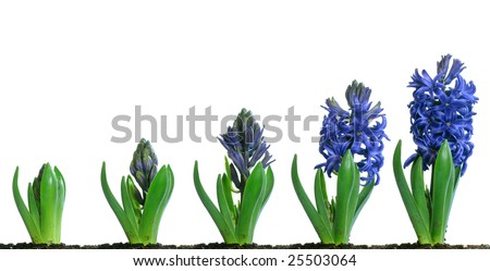 Progressive images of a blue hyacinth flower growing and blooming - stock photo