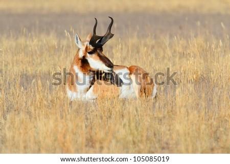 Pronghorn Antelope (Antilocapra americana) in Yellowstone National Park - stock photo