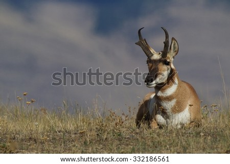 Pronghorn Antelope bedded, resting on prairie grassland habitat. Antilocapra americana, the fastest mammal in North America - stock photo