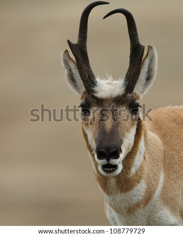Pronghorn Antelope Buck, close-up portrait with a very smooth background - stock photo