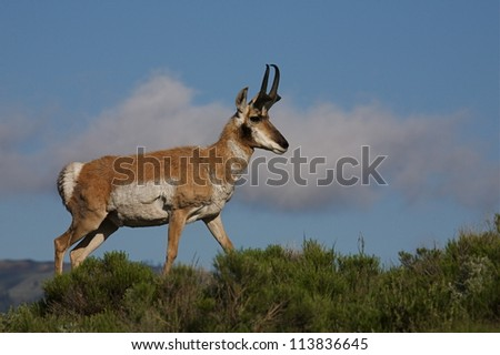 Pronghorn Antelope buck in Yellowstone National Park; in sagebrush prairie habitat against a blue sky with clouds - stock photo